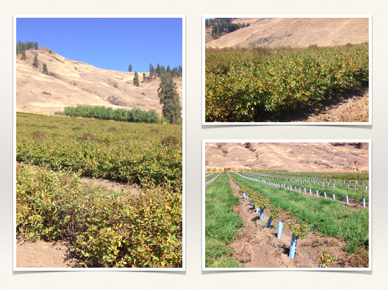 Global Honeyberry orchards
