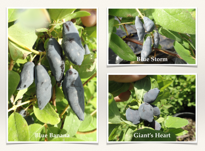 honeyberry plant ordering