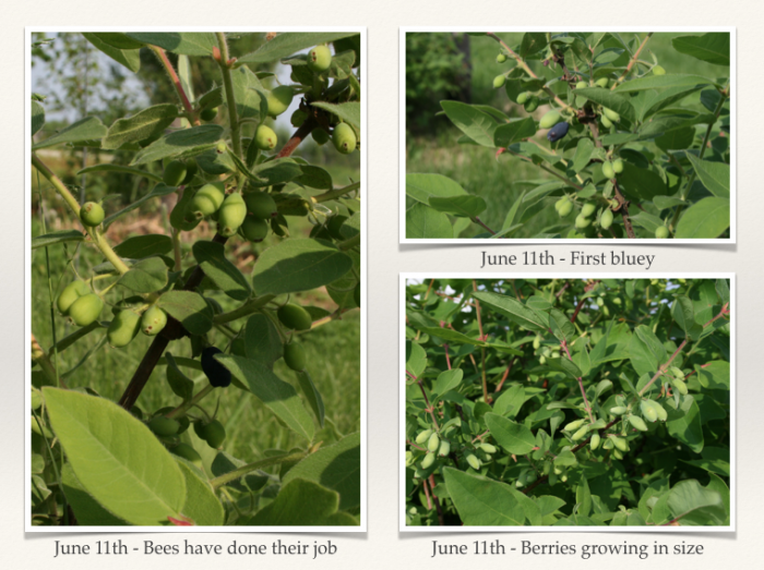 honeyberry orchard establishment