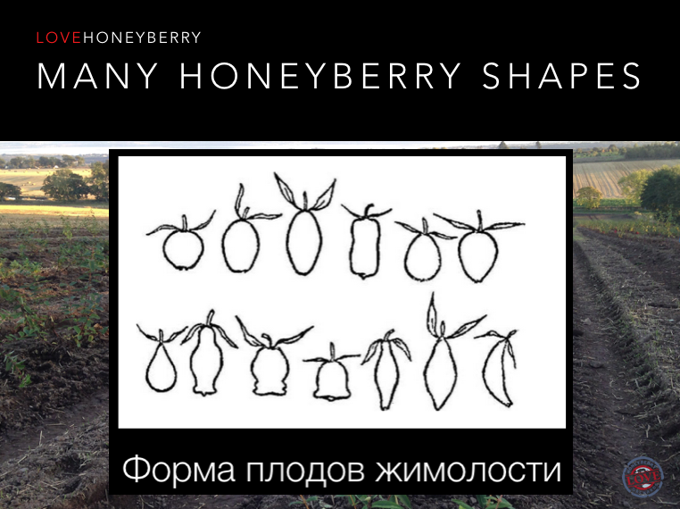 Best Honeyberry Variety?